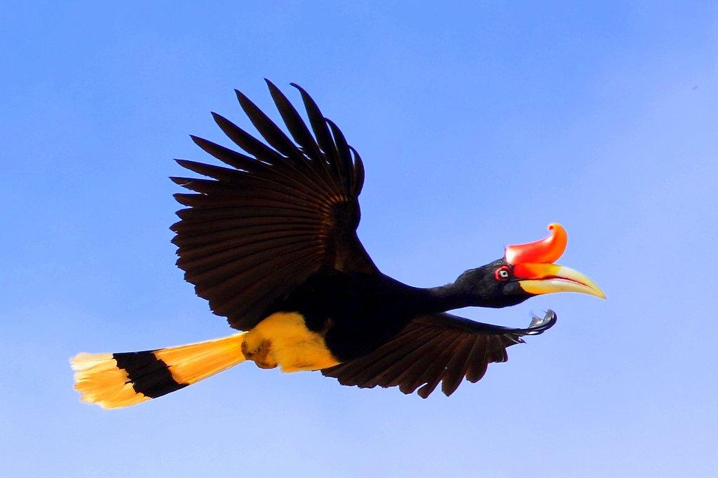 Rhinoceros Hornbill Ml 001 Rockjumper Birding Tours Worldwide Bird Tours